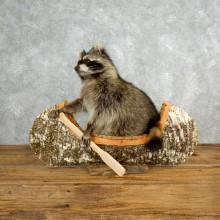 Canoeing Raccoon Novelty Mount For Sale #17839 @ The Taxidermy Store