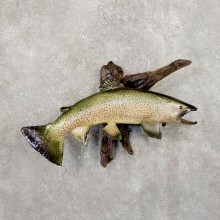 Rainbow Trout Fish Mount For Sale #19861 @ The Taxidermy Store