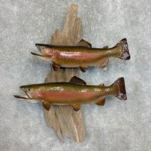 Rainbow Trout Fish Mount For Sale #22116 @ The Taxidermy Store