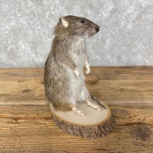 Rat Life-Size Taxidermy Mount For Sale