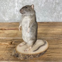 Rat Life-Size Mount For Sale #24455 @ The Taxidermy Store