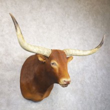 Texas Longhorn Shoulder Mount For Sale #19689 @ The Taxidermy Store