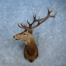 Red Deer Stag Shoulder Mount For Sale #15553 @ The Taxidermy Store