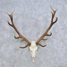 European Red Deer Skull Antler Mount For Sale #14415 @ The Taxidermy Store