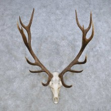 European Red Deer Skull Antler Mount For Sale #14418 @ The Taxidermy Store