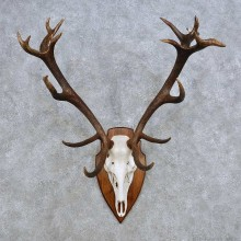 European Red Deer Skull Antler Mount For Sale #14422 @ The Taxidermy Store