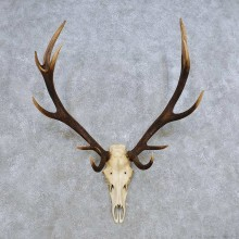 European Red Deer Skull Antler Mount For Sale #14423 @ The Taxidermy Store