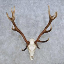 European Red Deer Skull Antler Mount For Sale #14429 @ The Taxidermy Store