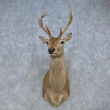 Red Deer Stag Shoulder Mount For Sale #15073 @ The Taxidermy Store