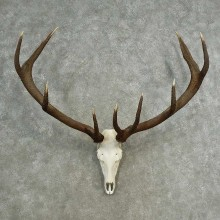 Red Deer Stag Skull European Mount For Sale #16898 @ The Taxidermy Store