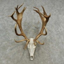 Red Deer Stag Skull European Mount For Sale #16903 @ The Taxidermy Store