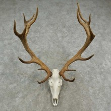 Rocky Mountain Elk Skull European Mount For Sale #16951 @ The Taxidermy Store