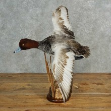 Red Headed Duck Mount For Sale #16989 @ The Taxidermy Store