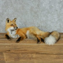 Laying Red Fox Life Size Mount #13697 For Sale @ The Taxidermy Store