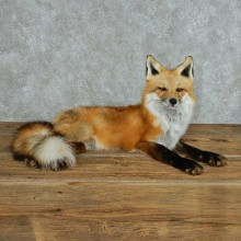 Red Fox Life Size Mount For Sale #13701 @ The Taxidermy Store