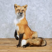 Red Fox Life-Size Mount For Sale #14700 @ The Taxidermy Store