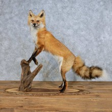 Red Fox Life-Size Mount For Sale #14702 @ The Taxidermy Store