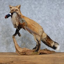 Red Fox Life-Size Mount For Sale #14703 @ The Taxidermy Store