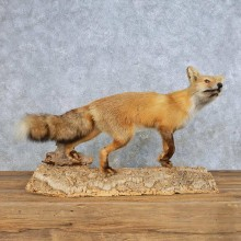 Standing Red Fox Mount For Sale #14704 @ The Taxidermy Store