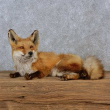 Red Fox Life-Size Mount For Sale #15221 @ The Taxidermy Store