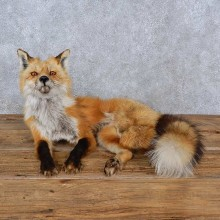 Red Fox Life-Size Mount For Sale #15222 @ The Taxidermy Store