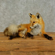 Red Fox Life-Size Mount For Sale #16404 @ The Taxidermy Store