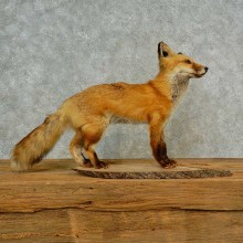 Red Fox Life-Size Mount For Sale #16570 @ The Taxidermy Store