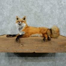 Red Fox Life Size Taxidermy Mount #13262 For Sale @ The Taxidermy Store
