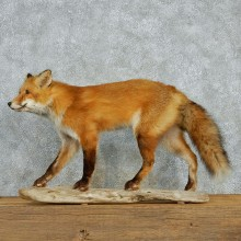 Red Fox Life Size Standing Taxidermy Mount #12998 For Sale @ The Taxidermy Store