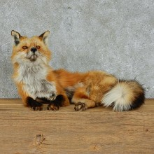 Red Fox Life Size Standing Taxidermy Mount #13126 For Sale @ The Taxidermy Store