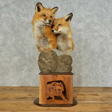 Red Fox Pair Pedestal Mount For Sale #16231 @ The Taxidermy Store