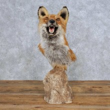 Red Fox Shoulder Pedestal Mount For Sale #14148 @ The Taxidermy Store