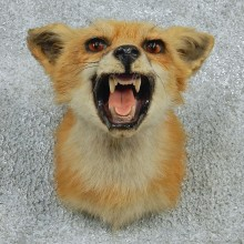 Red Fox Shoulder Taxidermy Head Mount #12763 For Sale @ The Taxidermy Store