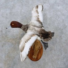 Redhead Duck Bird Mount For Sale #15859 @ The Taxidermy Store