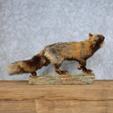 Standing Red & Silver Fox Mount For Sale #14705 @ The Taxidermy Store