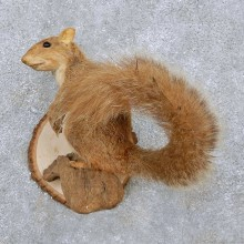 Perched Red Squirrel Taxidermy Mount For Sale #14113 @ The Taxidermy Store