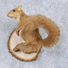Perched Red Squirrel Taxidermy Mount For Sale #14114 @ The Taxidermy Store