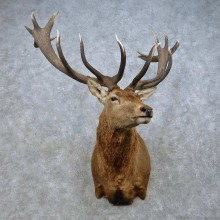 Red Deer Stag Shoulder Mount For Sale #15022 @ The Taxidermy Store