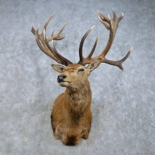 Red Deer Stag Shoulder Mount For Sale #15023 @ The Taxidermy Store