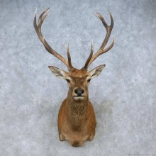 Red Deer Stag Shoulder Mount For Sale #15063 @ The Taxidermy Store