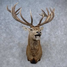 Red Stag Shoulder Mount For Sale #15682 @ The Taxidermy Store