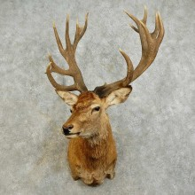 Red Stag Shoulder Mount For Sale #16027 @ The Taxidermy Store