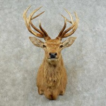 South Pacific Red Stag Shoulder Mount For Sale #16238 @ The Taxidermy Store