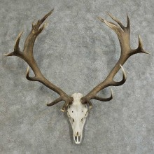 Red Stag Skull & Antler European Mount For Sale #16093 @ The Taxidermy Store