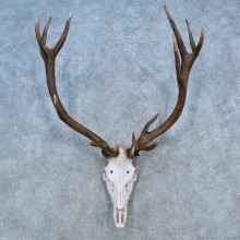 Red Stag Skull Antler European Mount For Sale #15520 @ The Taxidermy Store