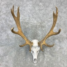 Red Deer Stag Skull European Mount For Sale #23280 @ The Taxidermy Store