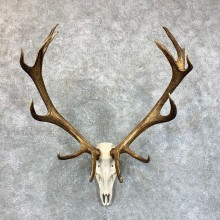 Red Deer Stag Skull European Mount For Sale #23554 @ The Taxidermy Store