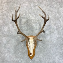 Red Deer Stag Skull European Mount For Sale #23555 @ The Taxidermy Store