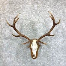 Red Deer Stag Skull European Mount For Sale #23556 @ The Taxidermy Store