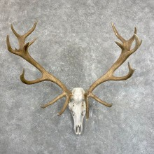 Red Deer Stag Skull European Mount For Sale #24247 @ The Taxidermy Store